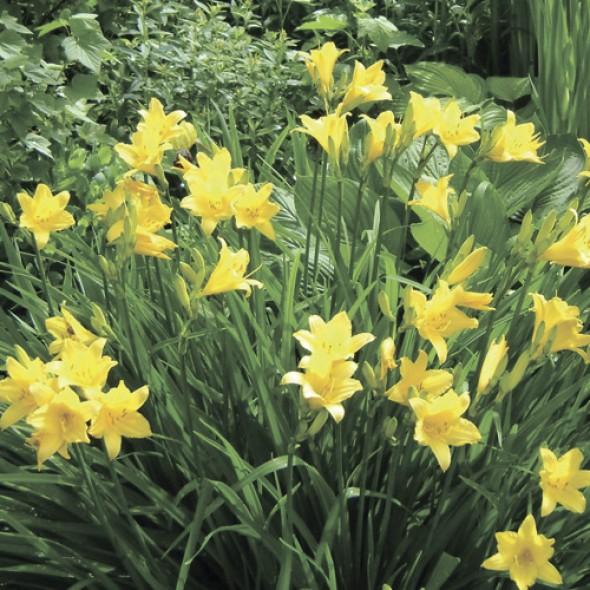 Лилейник мелколистный жёлтый