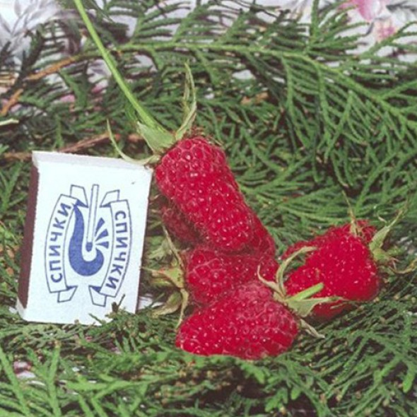 Малина крупноплодная Гигант Рубиновый