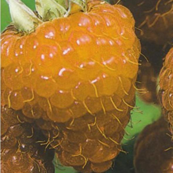 Малина крупноплодная Золотой Гигант