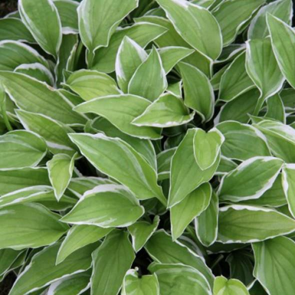 Удлиненный лист, белая кайма