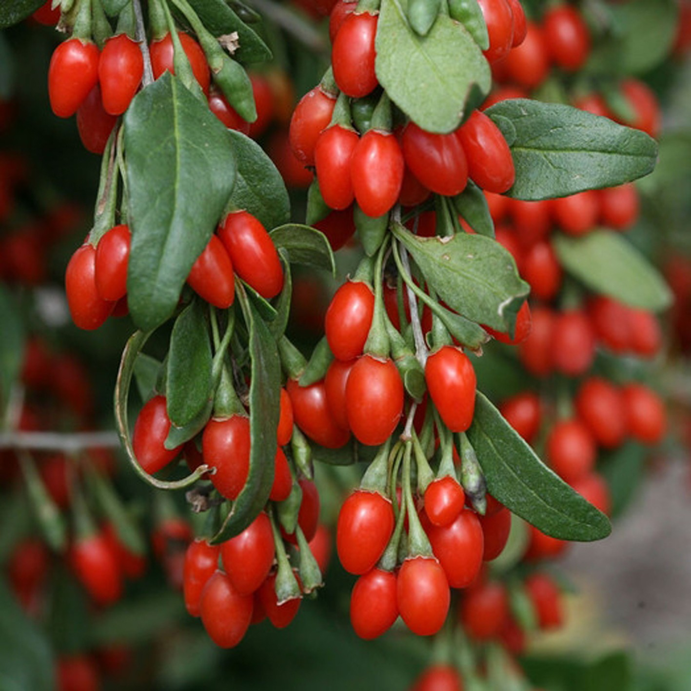 plante baie de goji