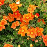 "Лапчатка кустарниковая ""Hopley's Orange"""