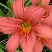 Лилейник темно-розовый