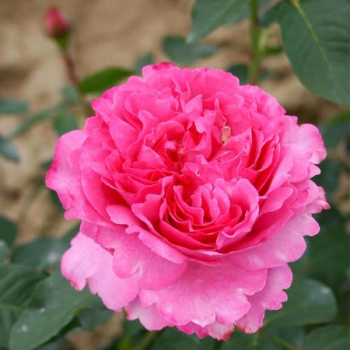 "Роза чайно-гибридная ""Yves Piaget"""