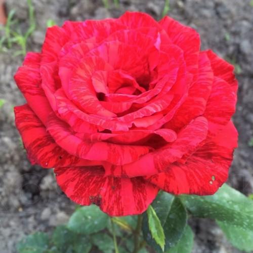 """Роза чайно-гибридная """"Red Intuition"""""""