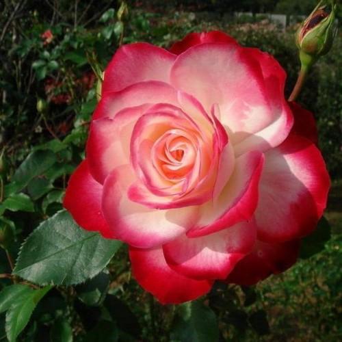 """Роза флорибунда """"Jubile du Prince de Monaco"""""""