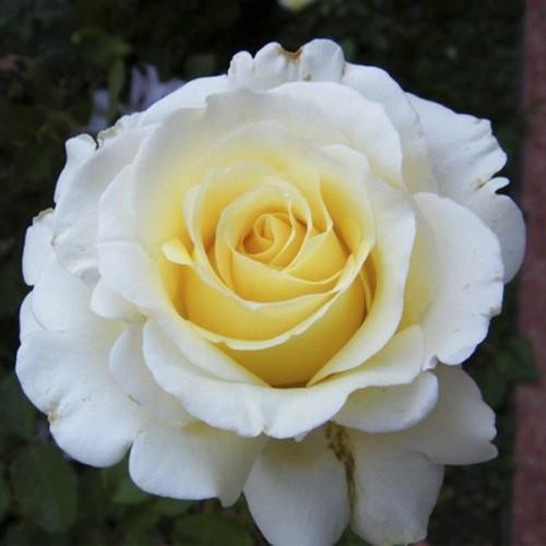 """Роза чайно-гибридная """"Anastasia"""""""