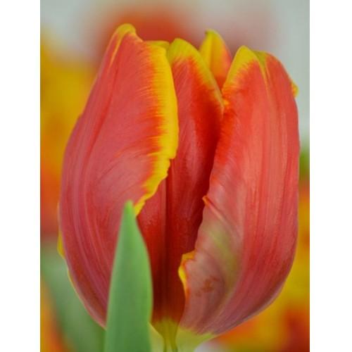 Тюльпан Bright Parrot