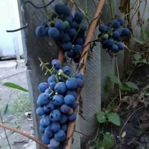 Виноград Г-300