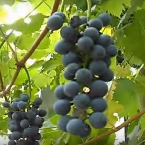 Виноград Дик