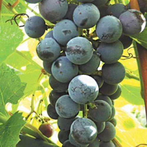 Виноград Добрыня