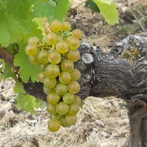 Виноград Мускат Оцеола