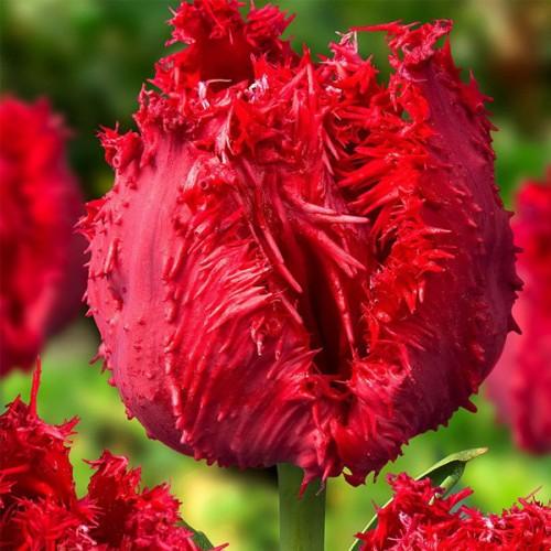 Тюльпан Barbados