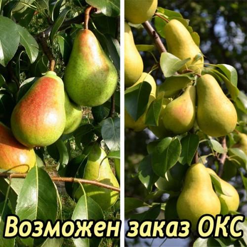 Груша Кафедральная + Чижовская