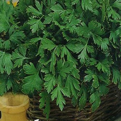 Сельдерей листовой Парус