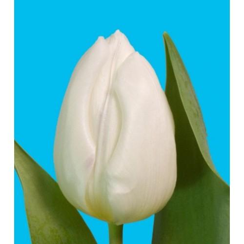 Тюльпан белый