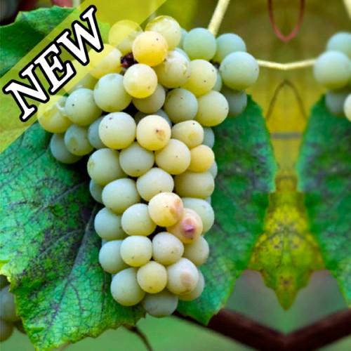 Виноград Даймонд