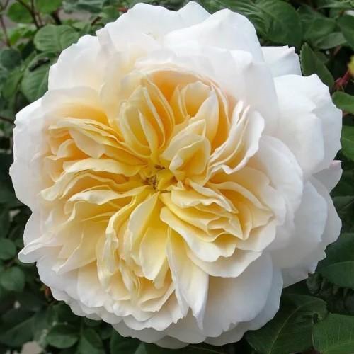 """Роза английская """"Crocus Rose"""""""