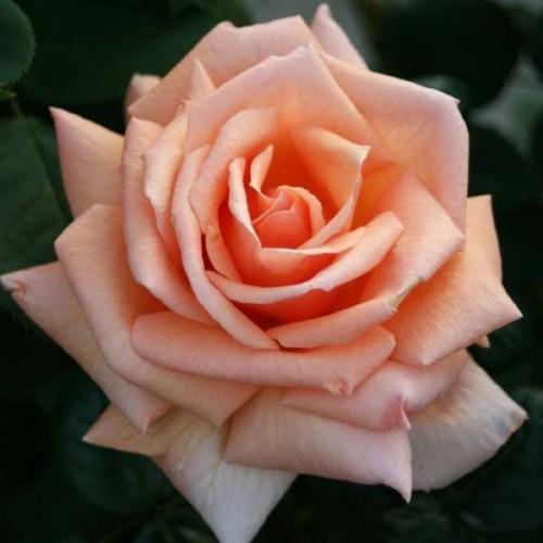 "Роза чайно-гибридная ""Caramel"""