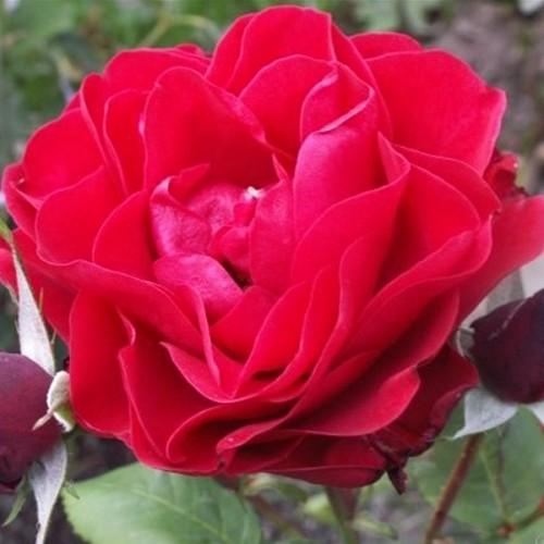 """Роза флорибунда """"Feuerland"""""""