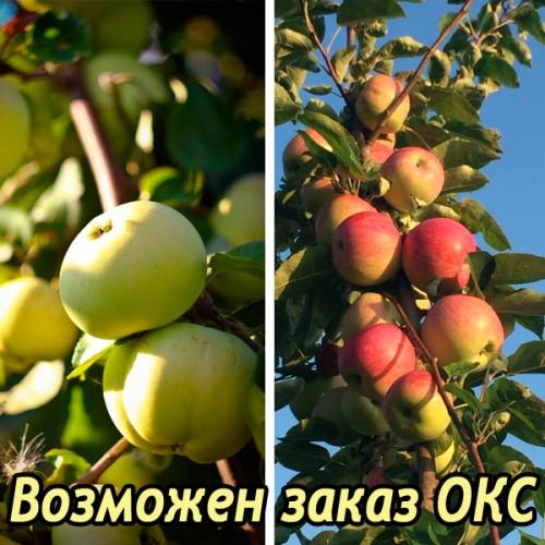 Яблоня Антоновка обыкновенная + Слава Победителям