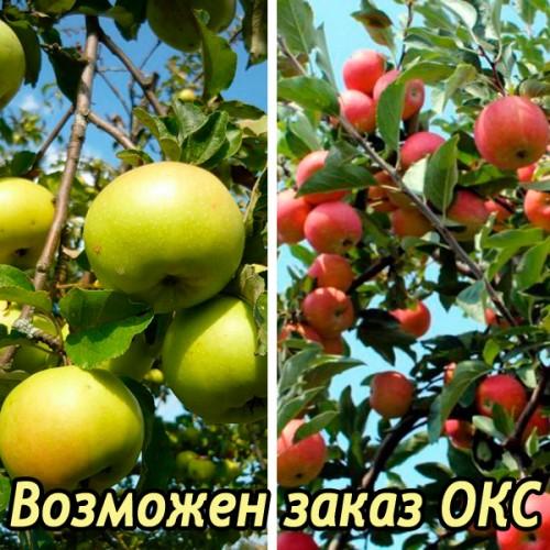 Яблоня Богатырь + Избранница