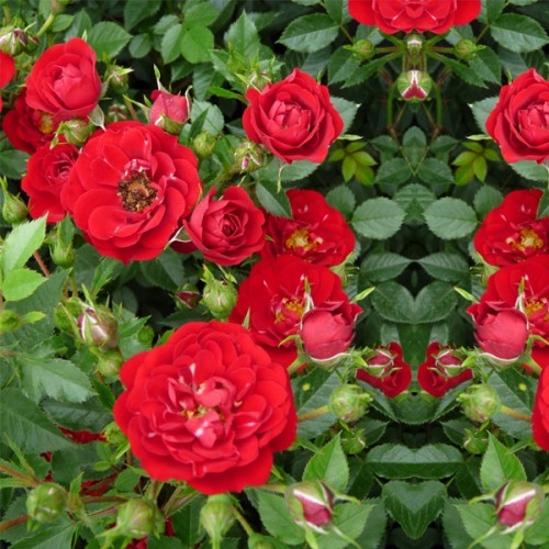 "Роза почвопокровная ""Red Fairy"""