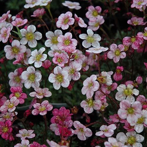 """Камнеломка Арендса """"Highlander Rose Shades"""""""