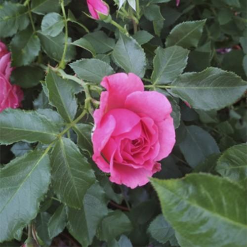 Роза флорибунда Розовая