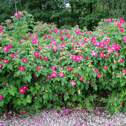 Шиповник Ругоза (розовая)