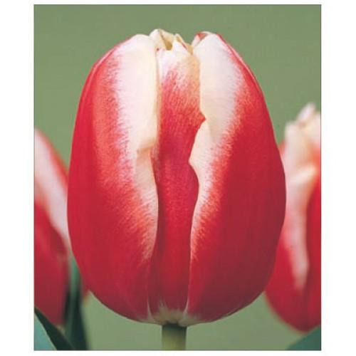 Тюльпан красный с белой каймой