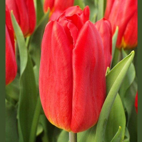 Тюльпан алый