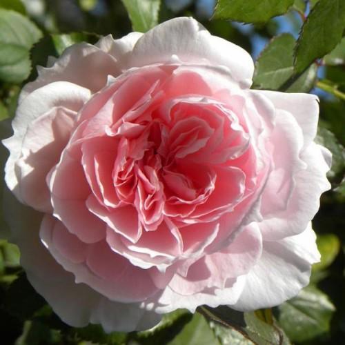 """Роза английская """"The Wedgwood Rose"""""""