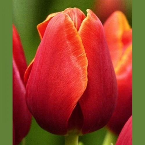 Тюльпан красно-лиловый